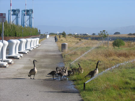 A family of geese on the waterfront.