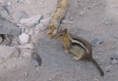 Ground squirrel at Crater Lake